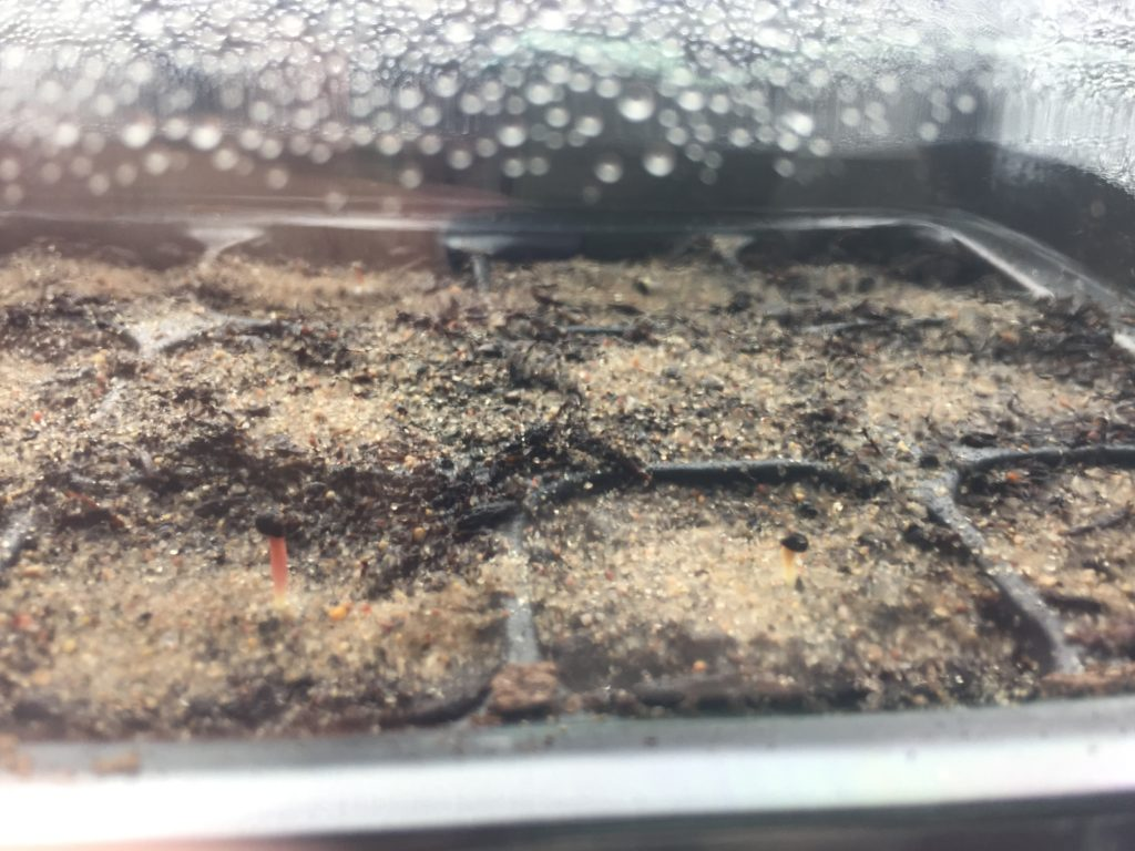 Ming Thing Seedlings