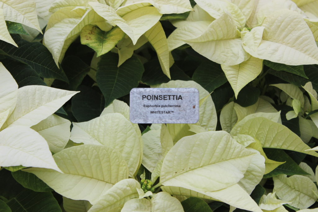 Poinsettia Whitestar