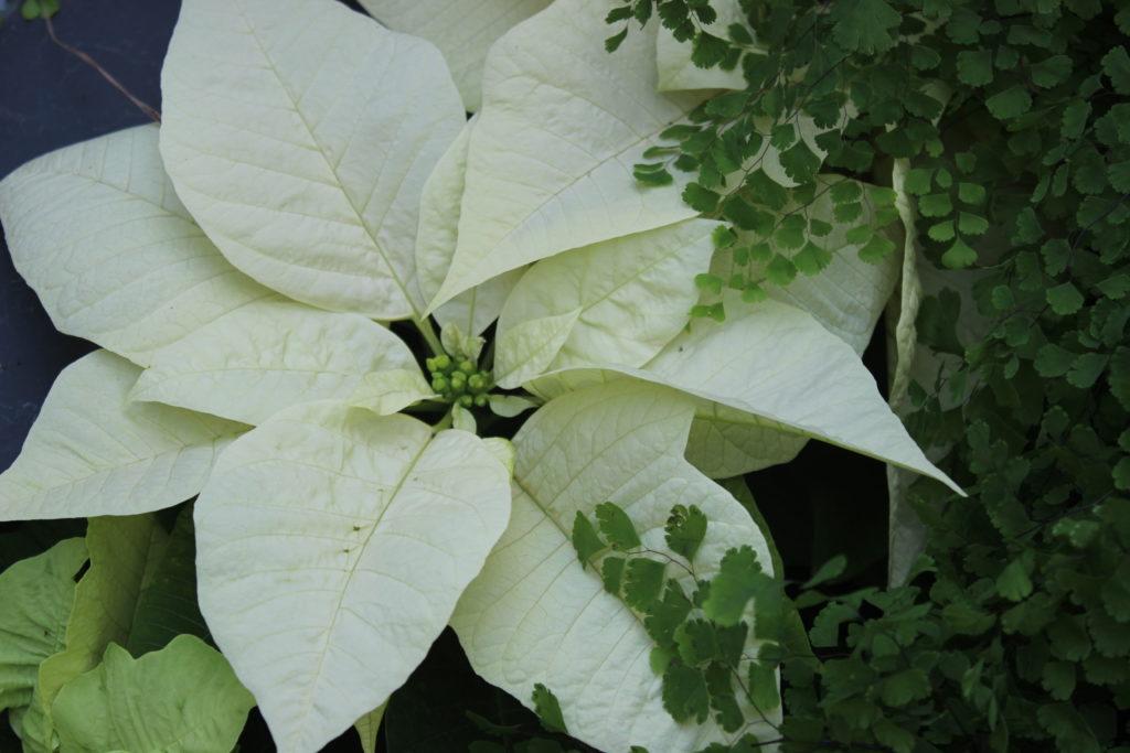 Poinsettia Envy