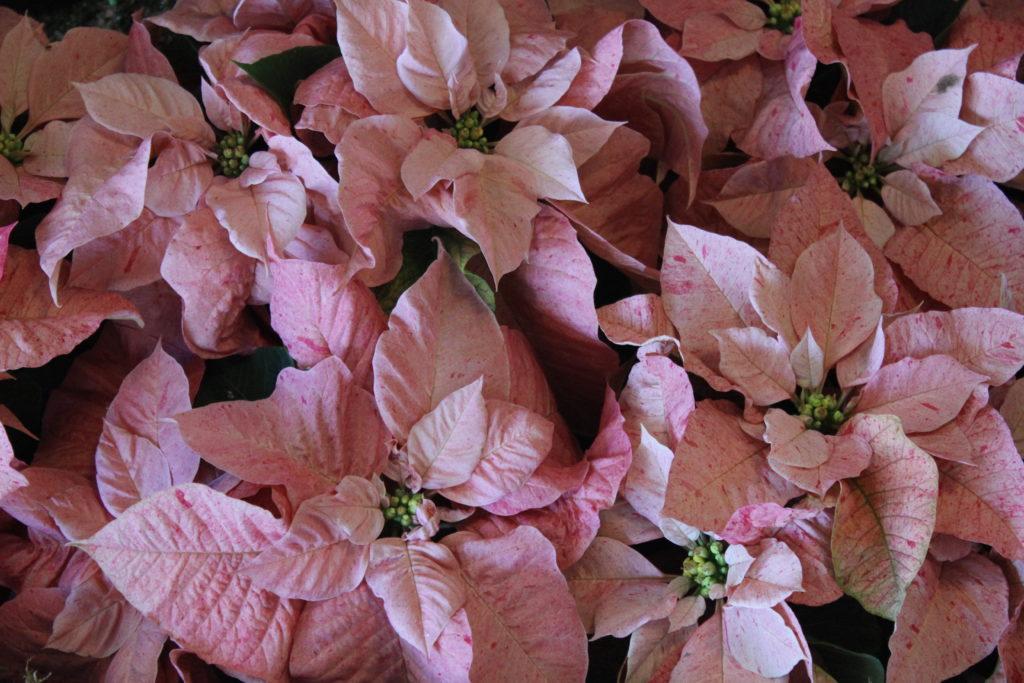 Poinsettia Peppermint Ruffles