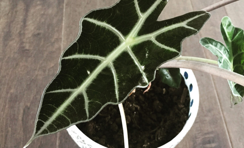 Alocasia polly 'African Mask'