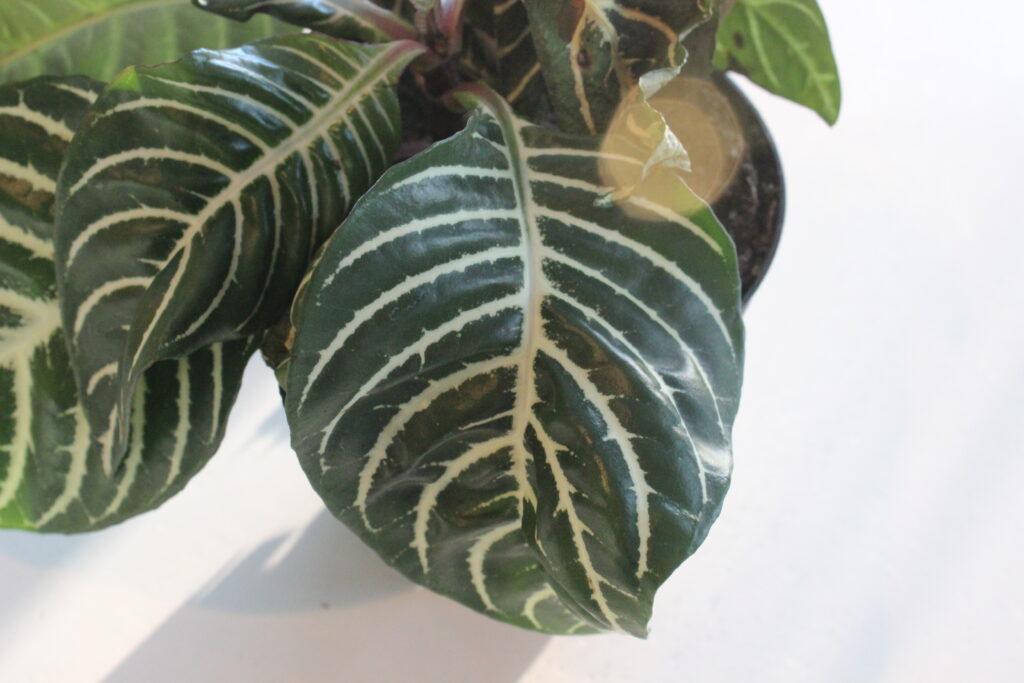 Zebra Plant Leaf