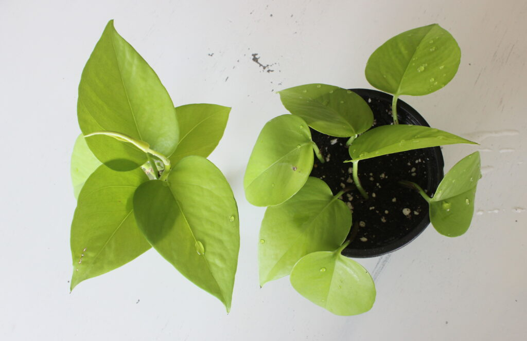 Pothos propagation water and soil