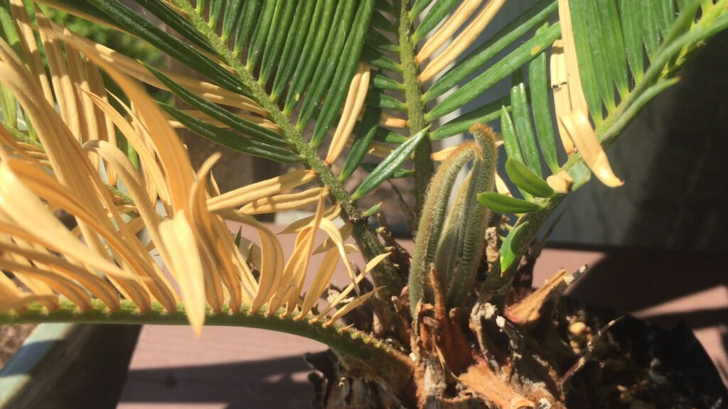 Sago Palm New Frond Growth