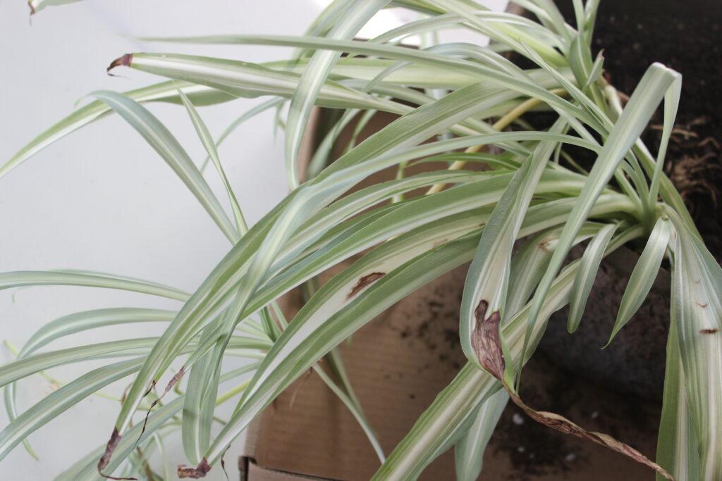 Plant Rescue Chlorophytum Comosum Spider Plant Suburbansill