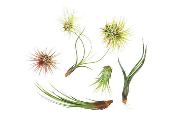Tillandsia Variety Pack